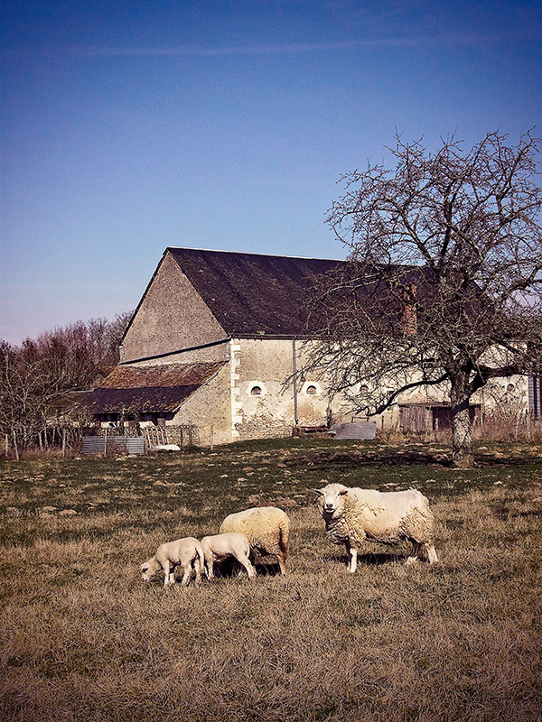 Photographie : Famille Ovine...